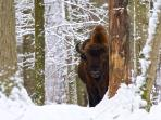 Poland bison safari and wolf tracking holiday, Winter