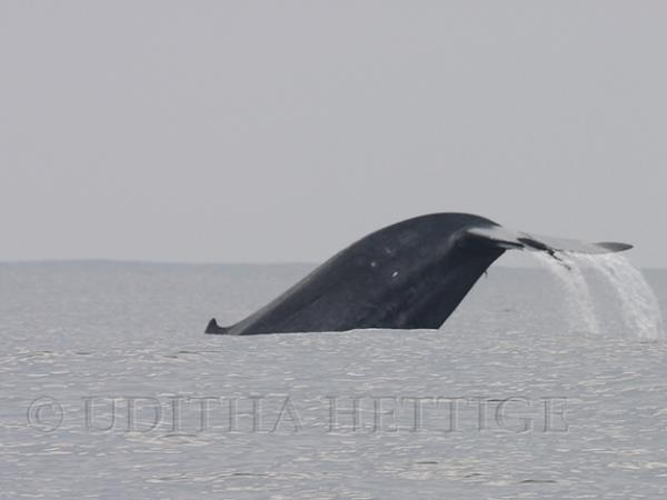 Blue whale watching holiday in Sri Lanka