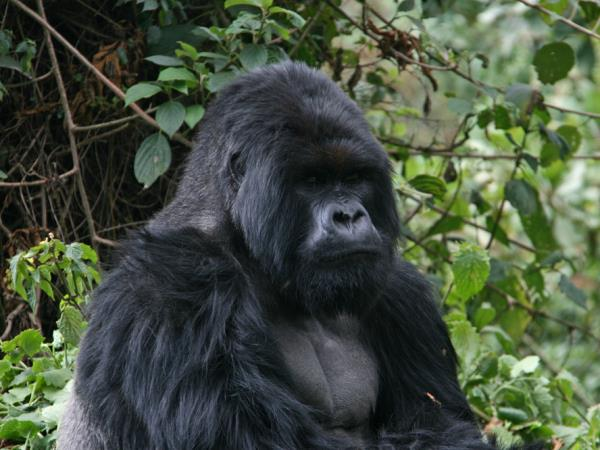 Mountain gorilla safari in Rwanda