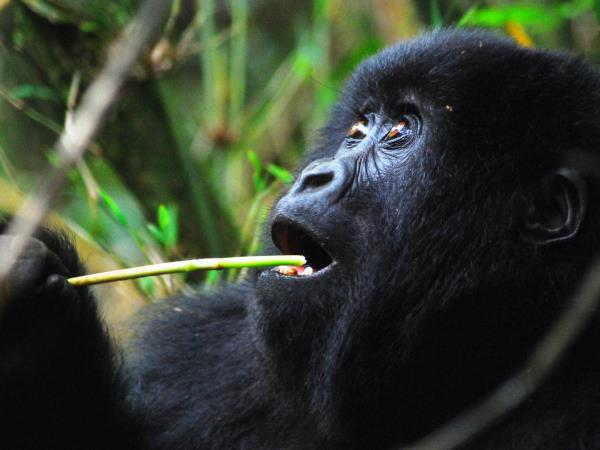 Overland tour of Kenya to Rwanda, gorillas and gameparks