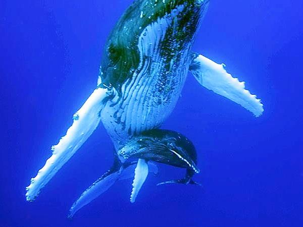 Swimming with Humpback whales, Tonga
