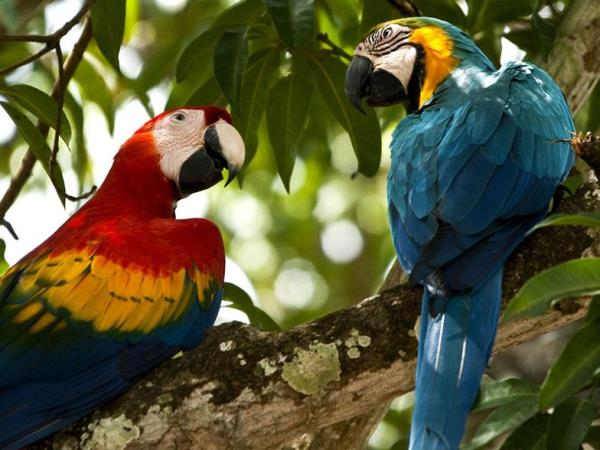 Amazon birding and wildlife holiday, Ecuador