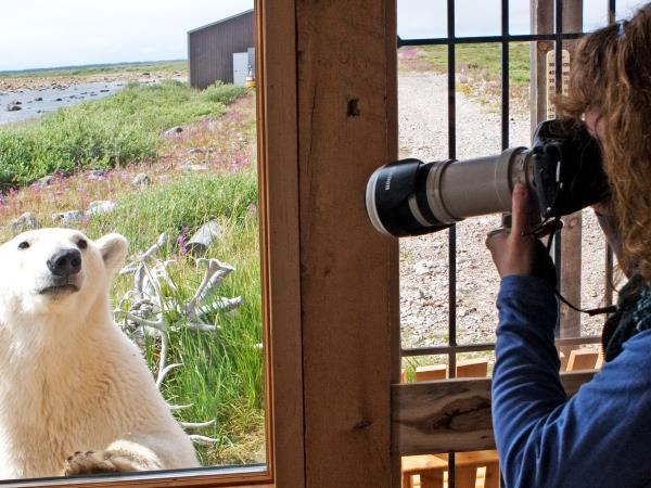 Polar bear and beluga whale watching tours in Canada