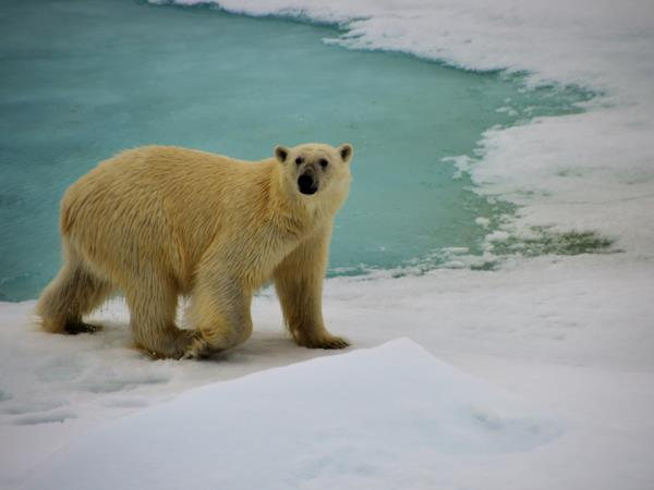 Arctic diving & Polar Bear Watching Expedition