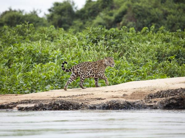Brazil wildlife holiday, Pantanal & Rio
