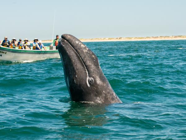 Baja whale watching safari in Mexico