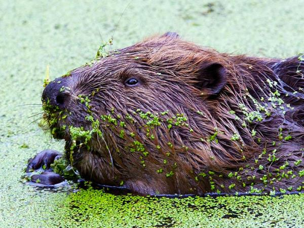 Poland wildlife holiday, elk safari & beaver watching