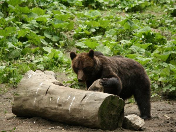 Romania wildlife holiday, bear watching and tracking