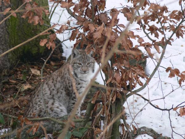 Transylvania wildlife holiday, lynx watching and tracking