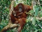 Orangutan volunteer programme in Borneo