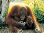 Family holiday to Borneo, Land of the Orang Utan