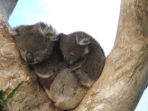 Koala conservation in Australia