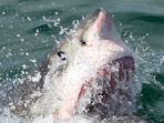 Great White shark monitoring in South Africa