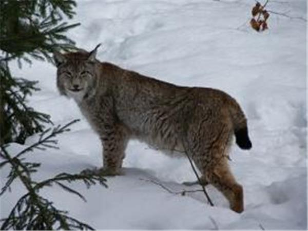 Lynx, wolf & bear conservation volunteer holiday in Slovakia