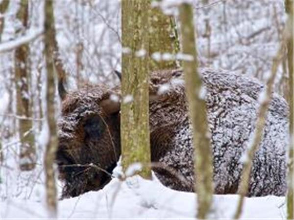 Poland winter wildlife holiday, Bialowieza & Biebrza