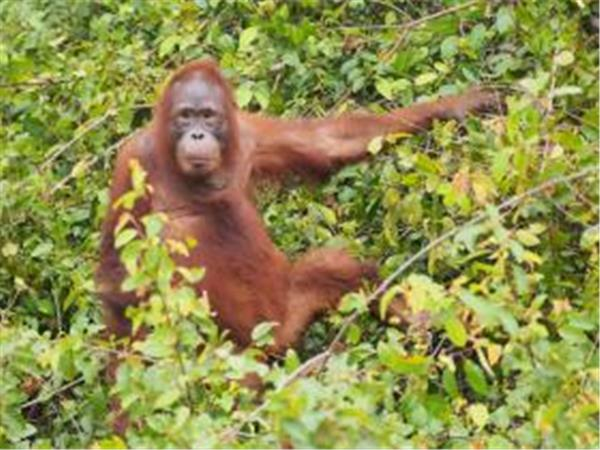 Orangutan expedition in Central Borneo