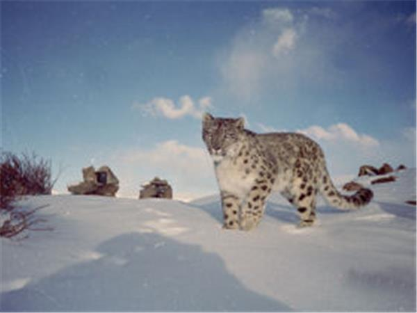 Snow leopard tracking tour in Ladakh, India