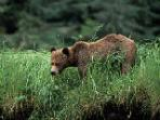 Grizzly Bear watching tour in British Columbia, Canada