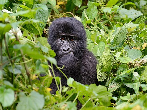 Gorillas and game-parks holiday in East Africa