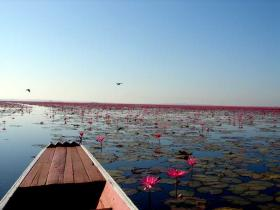 The local lotus lake