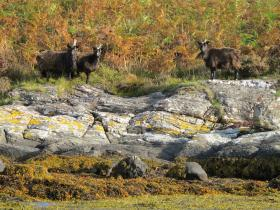 Wild Goats on Bute from the tender