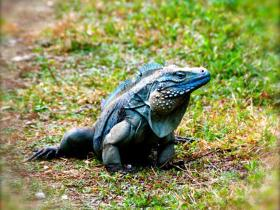 The Endangered Cayman Blue Iguana