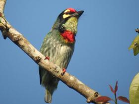 Coppersmith-Barbet