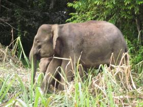 Pygmy Elephant at Tabin Reserve