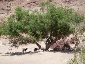 Feynan Wilderness Lodge resident goats