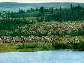 A breengrtound caribou herd folliwng a tundra river / photo copyright Max Finkelstein