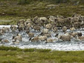 A caribou 'bunch' crossing an Arctic stream / photo copyright Chris Crowley