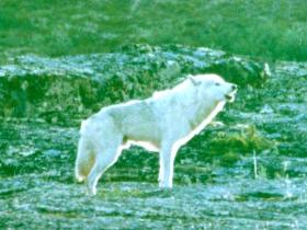 Tundra wolves in close pursuit of the caribou calves / photo copyright Terry Eliott