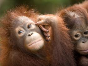 Borneo Honeymoon Orang Utans