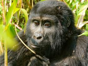 Support the conservation of Rare Mountian Gorillas in Bwindi National Park