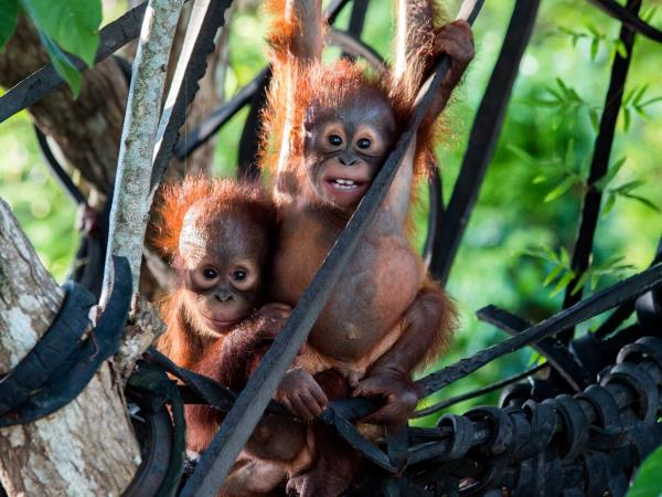 Orangutan conservation in Indonesia