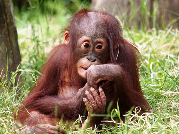 Borneo wildlife holiday, 13 days