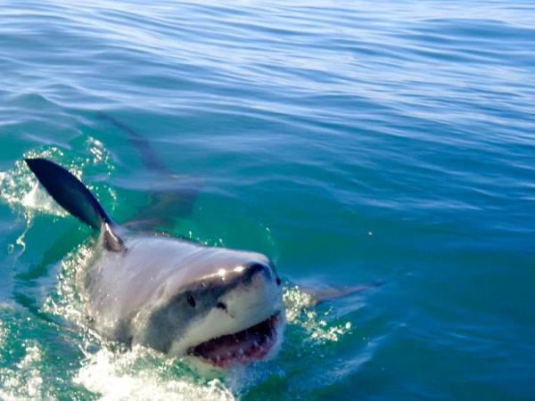 Shark conservation in South Africa