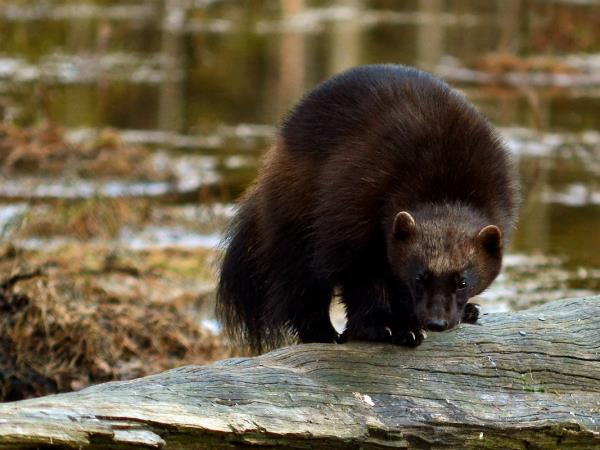 Wolverine photography tour in Finland
