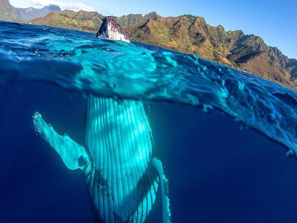 Tahiti humpback whale swimming holiday