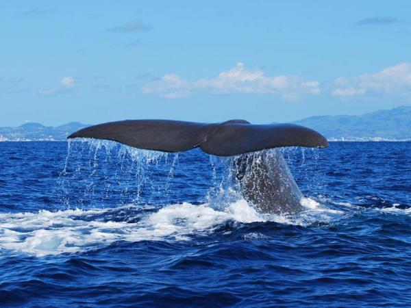 Whale watching in the Azores