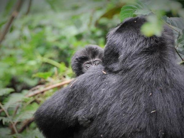Gorilla and chimpanzee trekking, Uganda