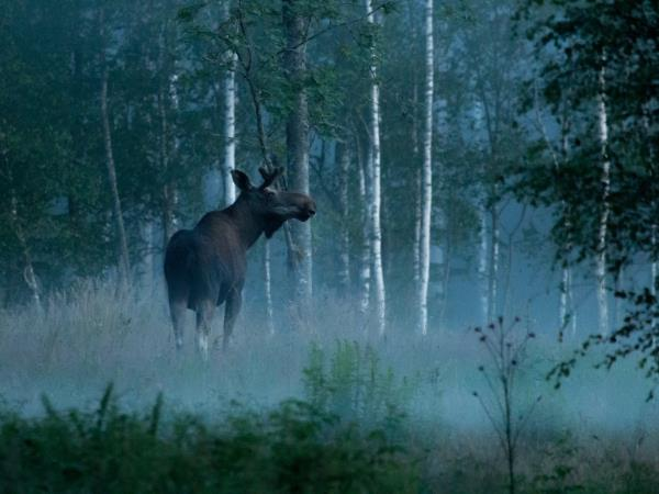 Sweden wildlife holiday, Wolves, Bears and Moose and Beavers