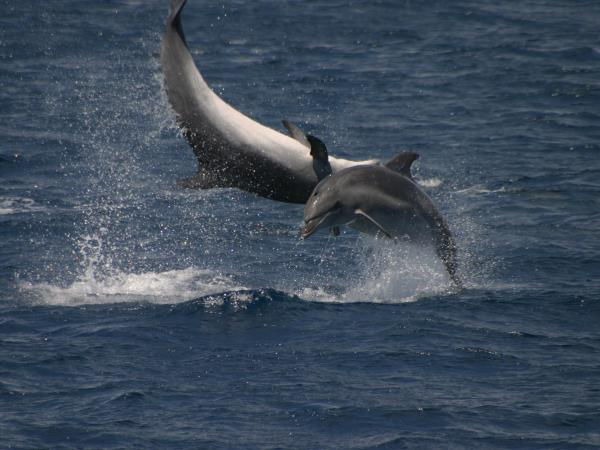 Whale & dolphin research holiday in the Azores, 6 days