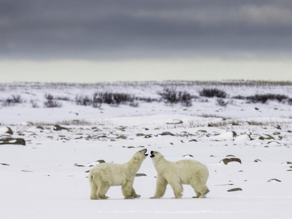 how to help polar bears in canada