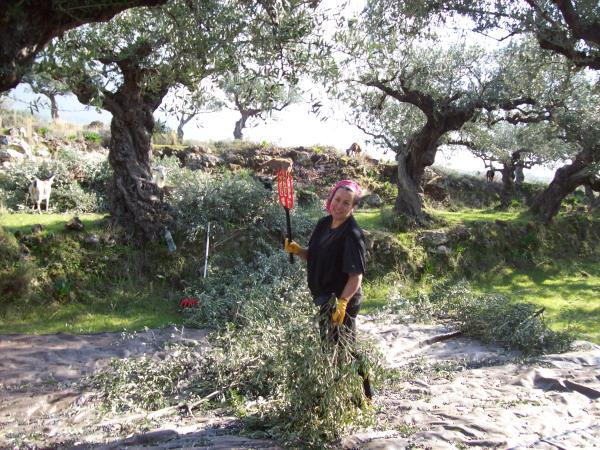 Crete holiday, join the olive harvest