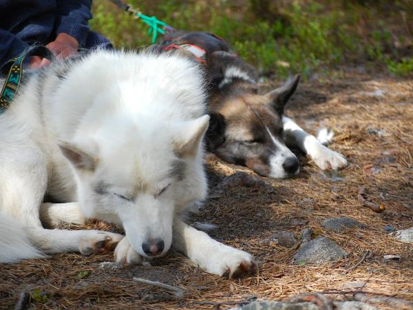 Hiking with huskies holiday in Finland