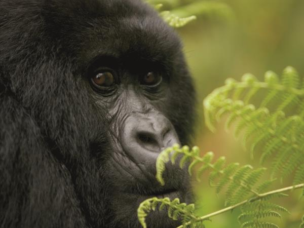 Gorilla safari & holiday in Rwanda, tailor made
