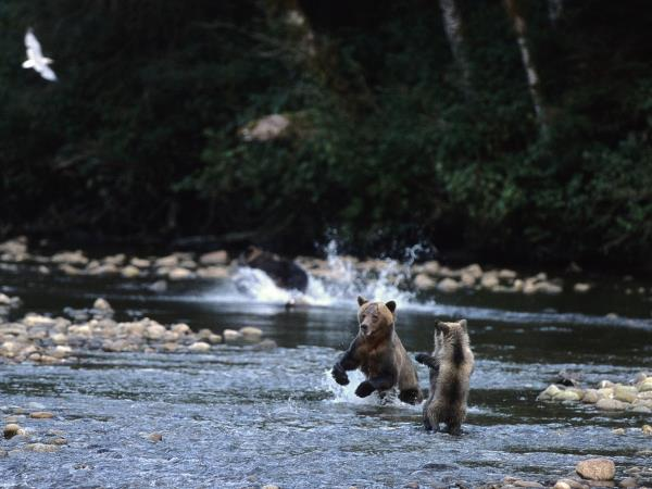 Grizzly bear watching holidays in British Columbia, Canada