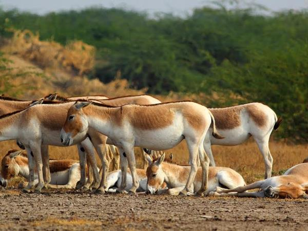 Gujarat holidays, Asiatic Lions, Blackbuck & Wild Asses