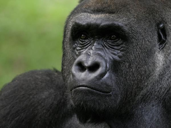 Uganda safari, gorillas, chimps and game